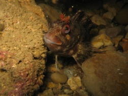 Tompot Blenny. Swanage Pier.